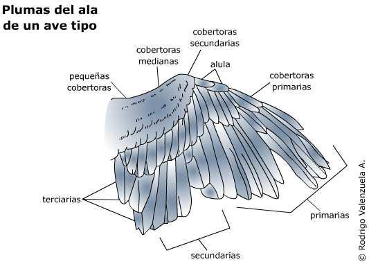 Entre plumas, cantos y vuelos... Las partes de un ave