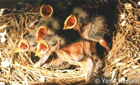 polluelos natural